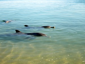 Dolphins in Shark Bay. Image: Catherine Collins